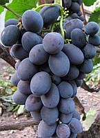 Виноград Гала (очень ранний) (саженцы)