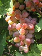 Виноград Аладдин ранний (саженцы)