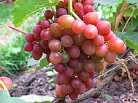 Виноград Блестящий (очень ранний) (саженцы)