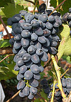 Виноград Чарли (очень ранний) (саженцы)