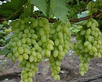 Виноград Столетие Кишмиш (саженцы)