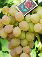 Виноград Кеша (саженцы)