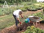Посадка хвойных растений