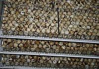 Инкубационные яйца в инкубаторе Nest