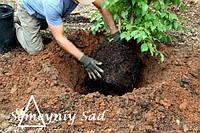 Правильная посадка деревьев и кустарников