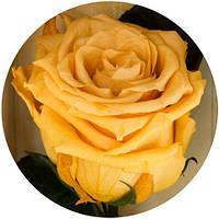 Живые Вечные розы золотистый хризоберилл