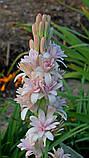 Тубероза Pink Sapphire (Рожевий сапфір), фото 2