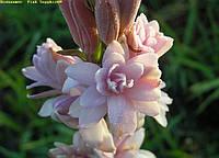 Тубероза Pink Sapphire (Розовый сапфир), фото 1