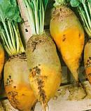 Семена кормовой свеклы Урсус Поли / Ursus Рoli, 20 кг, фото 6