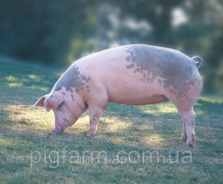 Гибридная свинка F1