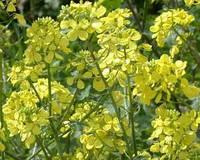 Трава Горчица 5 кг желтая (на седерат)