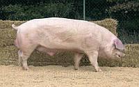 Свиноматки, хряки Ландрас (Свиньи Испанской селекции)