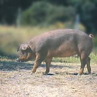 Свиноматки Дюрок (Свиньи Испанской селекции)