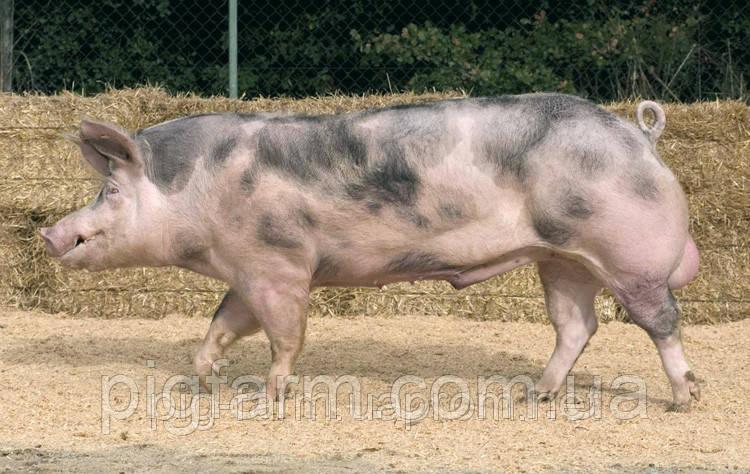 Свинки, хряки Пьетрен (Свиньи Испанской селекций)