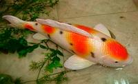 Декор для сада и пруда декоративноая рыбка для пруда