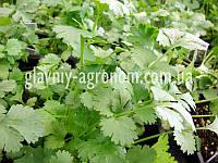 Семена кориандр посевной ранний (кинза)