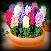 Гиацинт, микс цветов 5 луковиц, фото 1