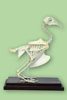 Скелет голубя, демонстрационное и лабораторное оборудование для школы