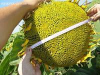 Семена подсолнечника Карлос 105 (под евро-лайтинг)