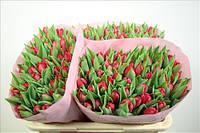 Тюльпан  оптом, цветы опт, купить цветы оптом, оптовая база цветов