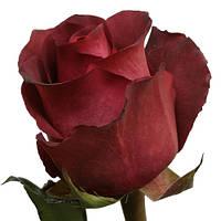 Роза чайно-гибридная Матильда