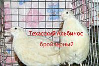 Перепелиные несушки ( взрослые ) породы Техасский альбинос