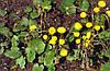Мать-и-мачеха листья (мать и мачеха) 100 грамм