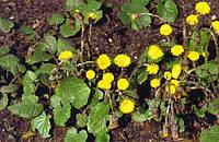 Мать-и-мачеха листья 100 грамм
