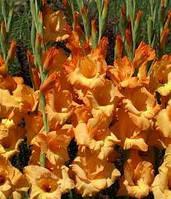Луковицы гладиолусов Ovatie