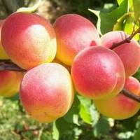 Саженцы абрикоса Нью Джерси Американ (NGA-19)