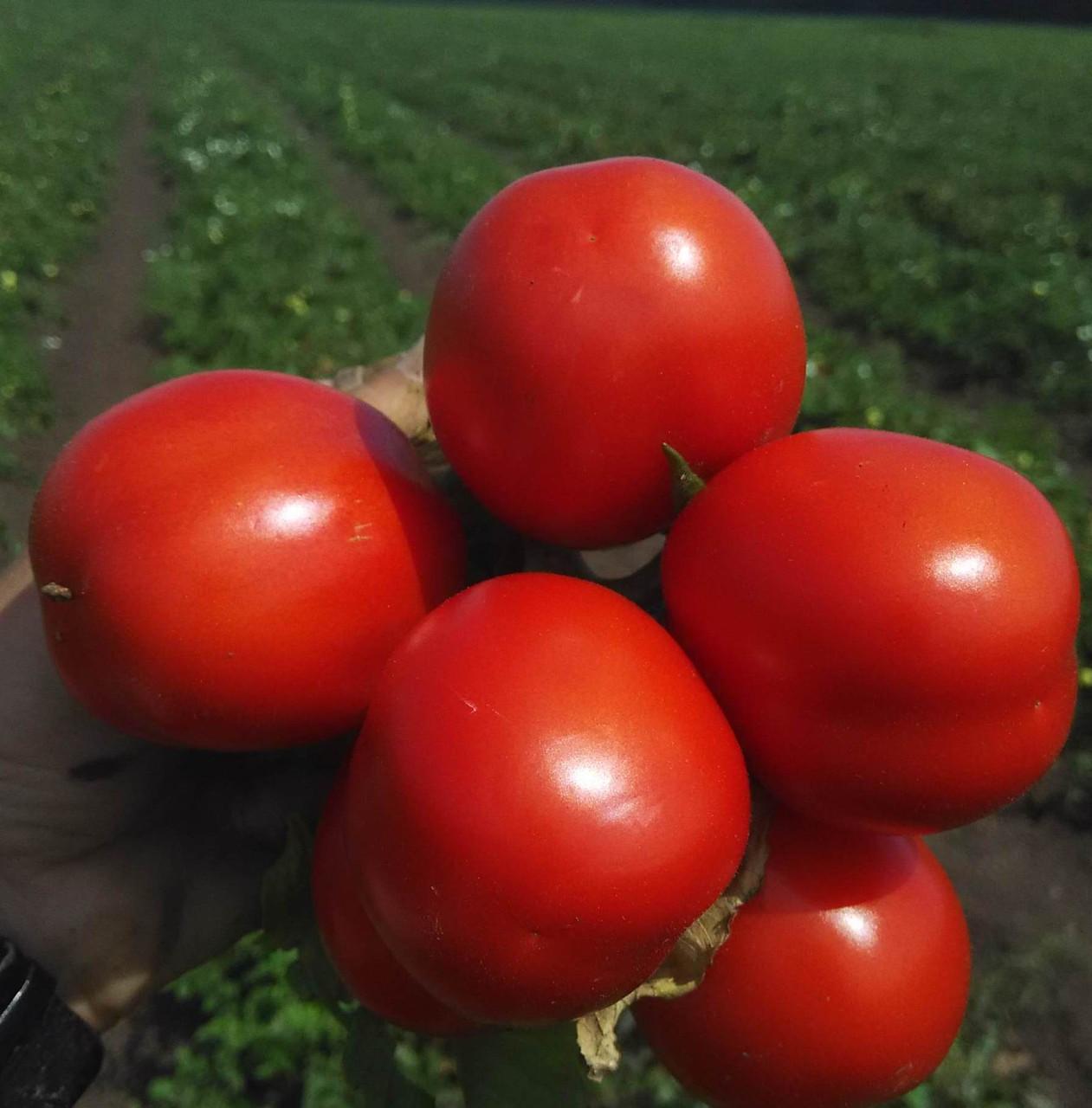 ЭДВАЙЗЕР F1 - томат детерминантный, Esasem 1 000 семян