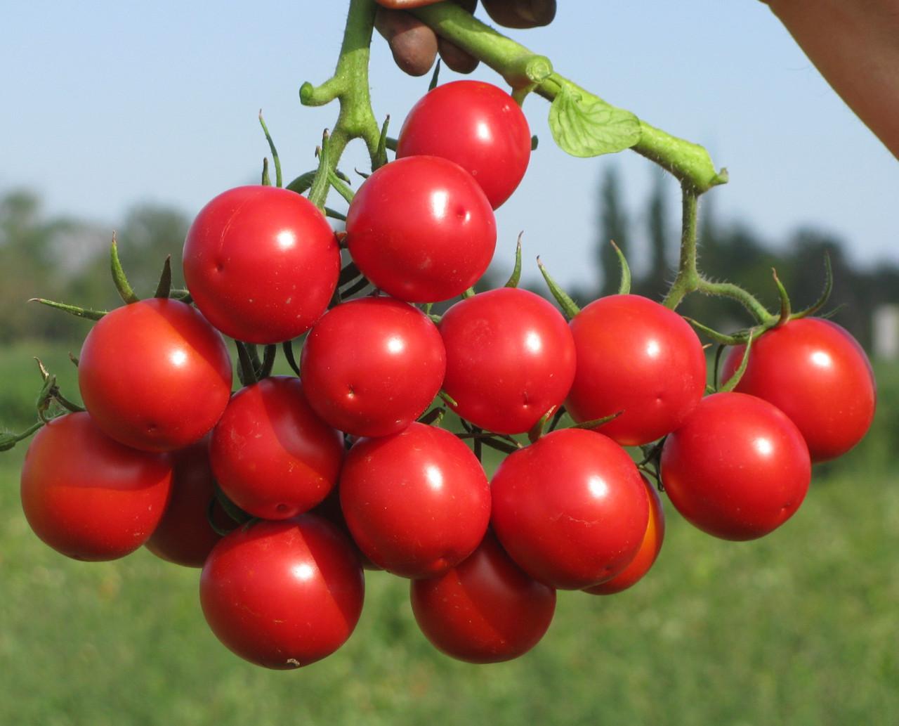 РУФУС F1 - томат детерминантный, Esasem 1 000 семян