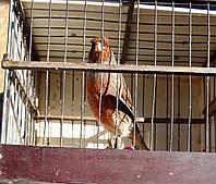 Поющий кенар.(Краснодеревый), фото 1