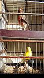 Півчі Канарки, фото 2