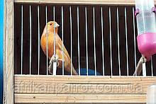 Кольорові канарки - півчі