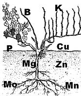 Роль микроэлементов в виноградарстве