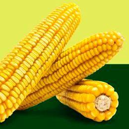 Cемена кукурузы Маис ДН Гарант