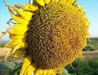 Семена сорт подсолнечника СУР 1 репродукция