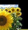 Семена подсолнечника Косово