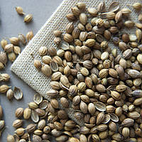 Кориандр (кинза) зерно