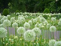 Аллиум Гигантский белый Mount Everest (Allium giganteum)