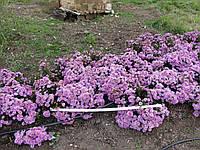 Сентябринка цветы