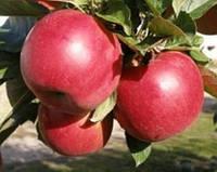 Яблоня на подвое М9, зимние сорта