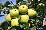 Яблуня Мутса, фото 3