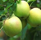 Яблуня Мутса, фото 4