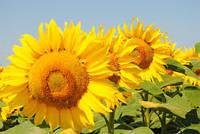 Соняшник Сонячний настрій