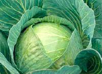 Семена капусты Зенон F1  Упаковка 2500 семян производитель Syngenta