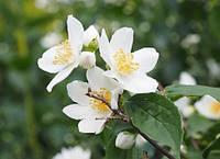 Чубушник - садовый «жасмин»