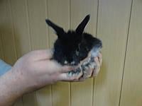 Кролик декоративный.