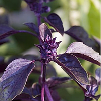 Семена базилика фиолетового Бордо 50 г. Agri Saaten